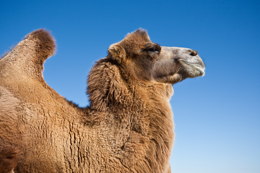 Bactrian camel in Mongolia