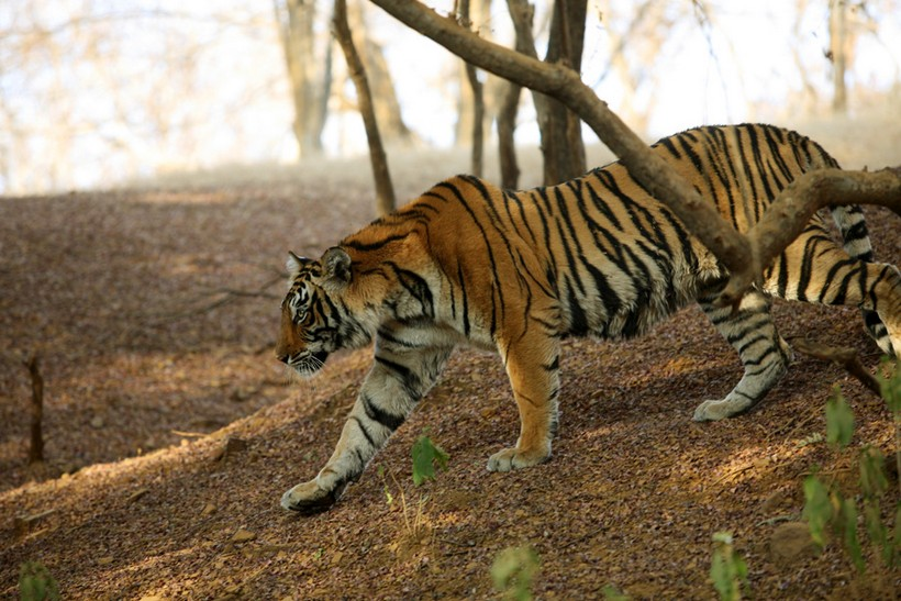Wild tigers in Ranthambore, India