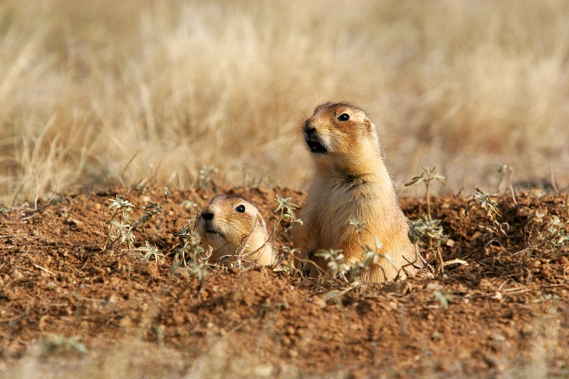 Prairie dogs Wyoming