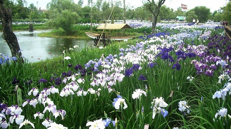 Япония. Савара. Водный сад ирисов (The water garden iris Suigo Sawara).